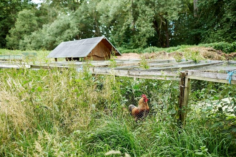 Ein Hahn in einem Verschlag im hohen Gras