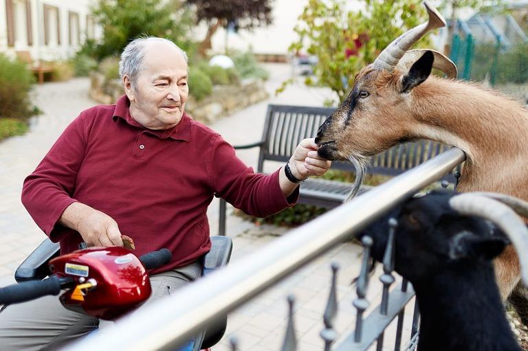 Ein älterer Mann im Rollstuhl füttert eine Ziege